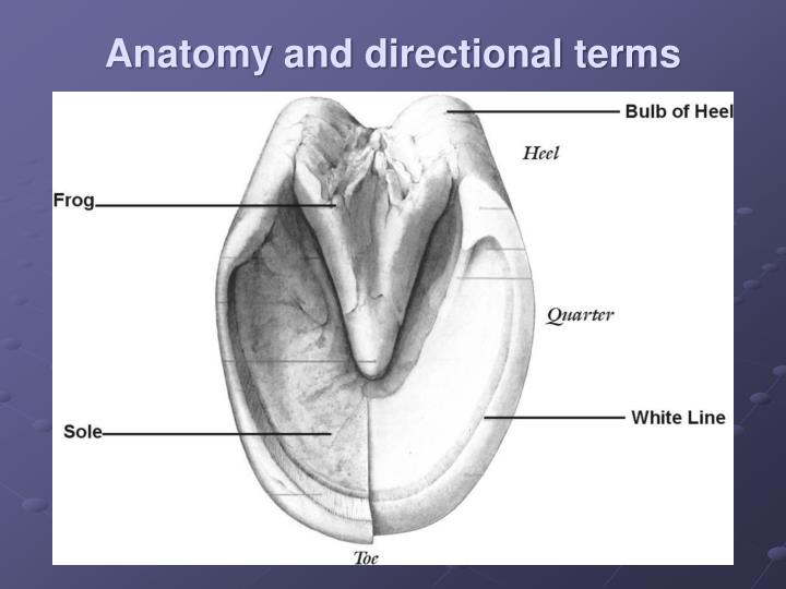 Anatomy and directional