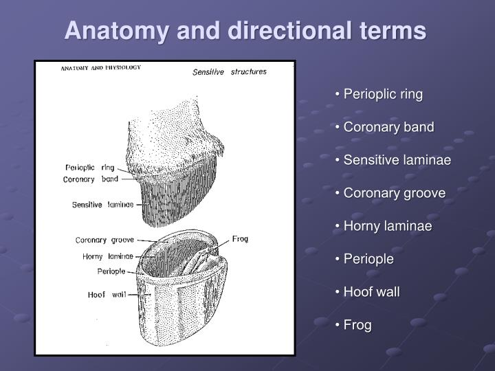 Anatomy and directional terms