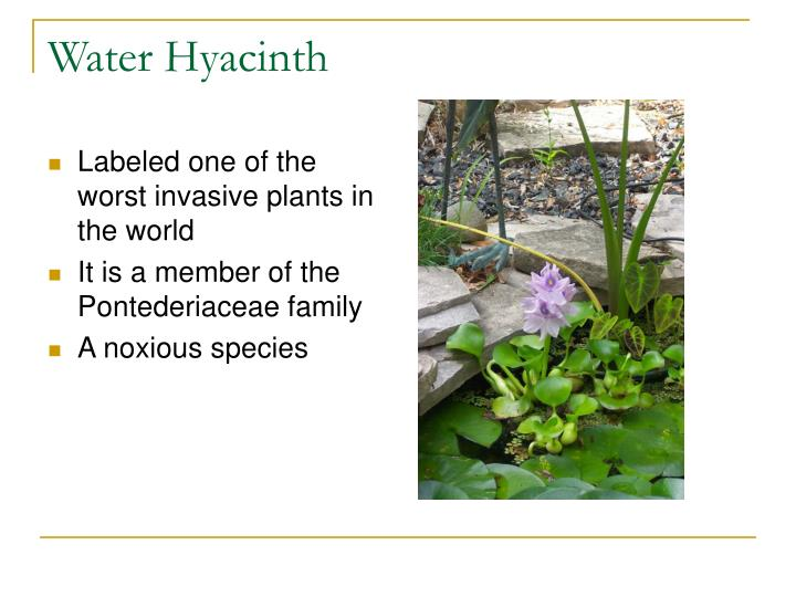 Labeled one of the worst invasive plants in the world