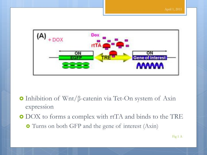Inhibition of Wnt/β-catenin via Tet-On system of Axin expression