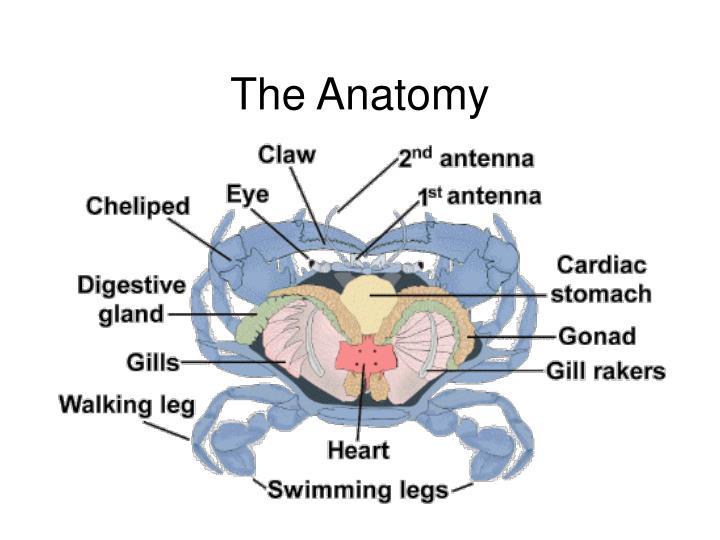The Anatomy