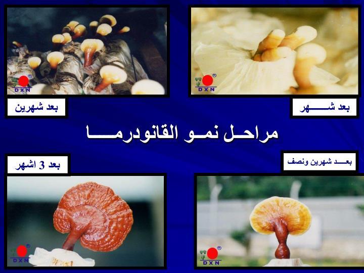 مراحــل نمــو القانودرمـــــا