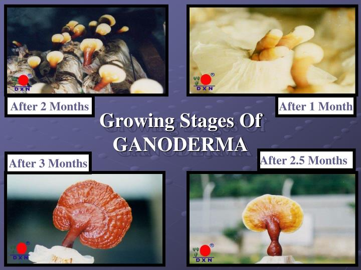 Growing Stages Of GANODERMA