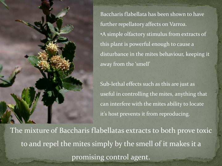 Baccharis flabellata has been shown to have further repellatory affects on Varroa.