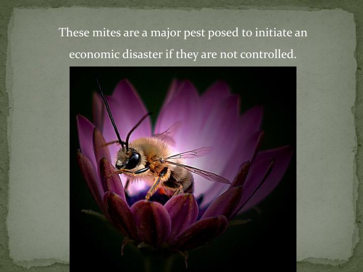 These mites are a major pest posed to initiate an economic disaster if they are not controlled.
