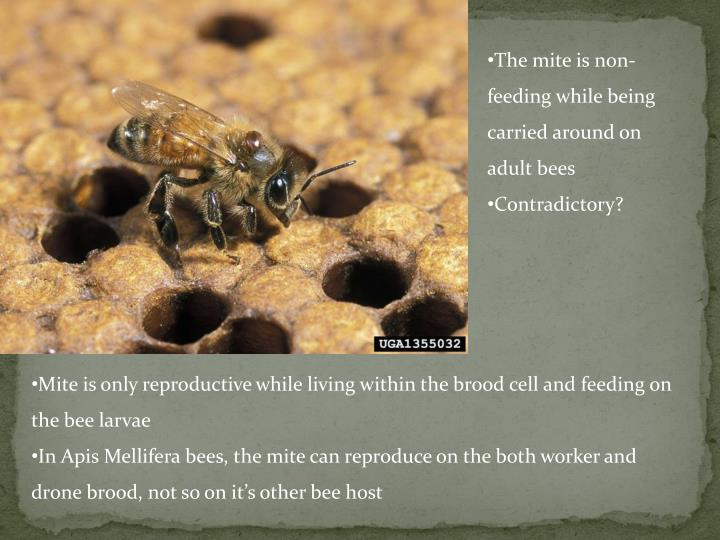 The mite is non-feeding while being carried around on adult bees