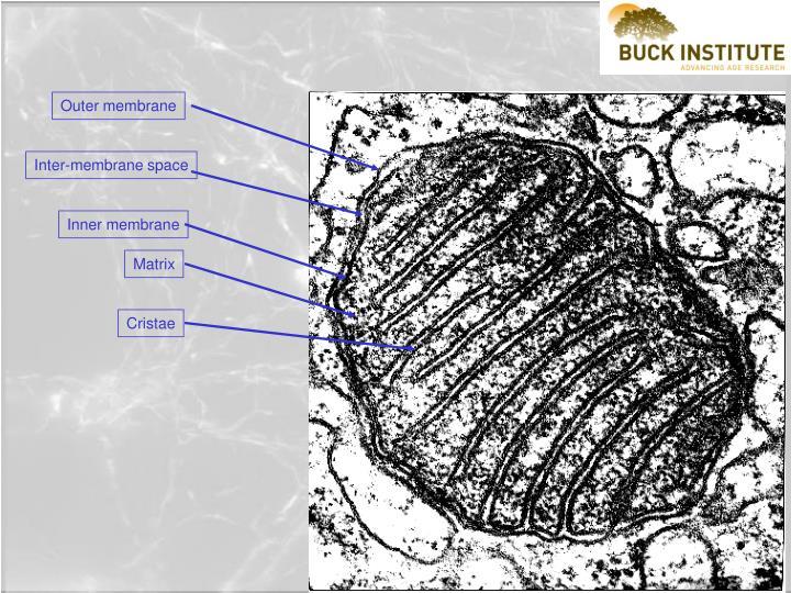 Outer membrane