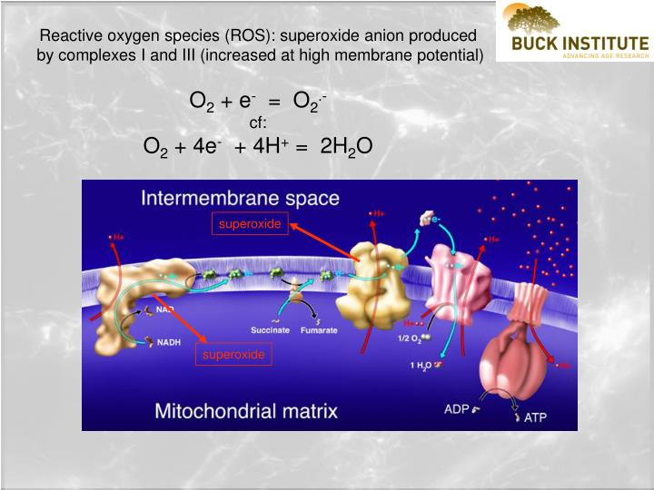 Reactive oxygen species (ROS): superoxide anion produced