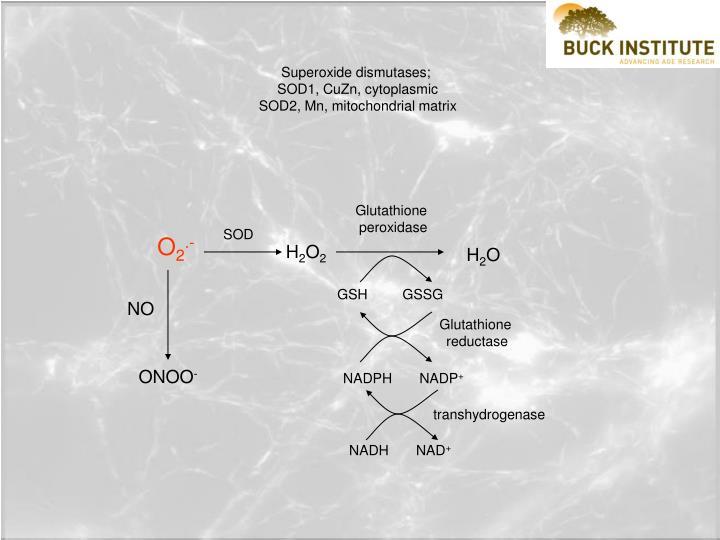 Superoxide dismutases;