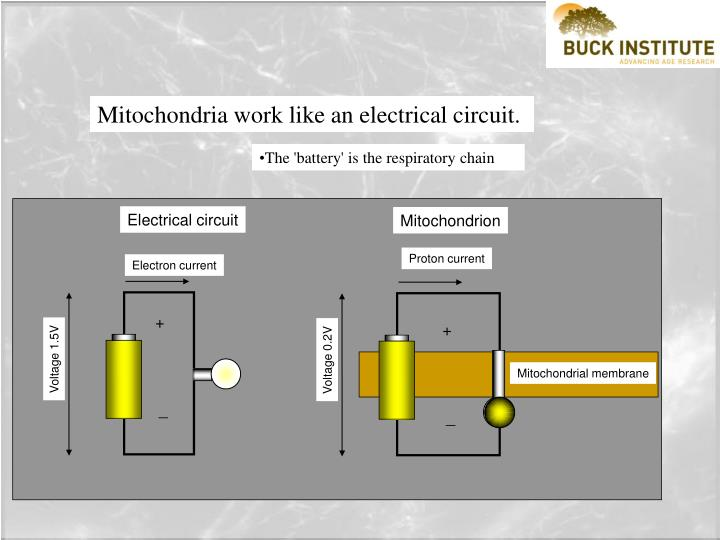 Mitochondria work like an electrical circuit.