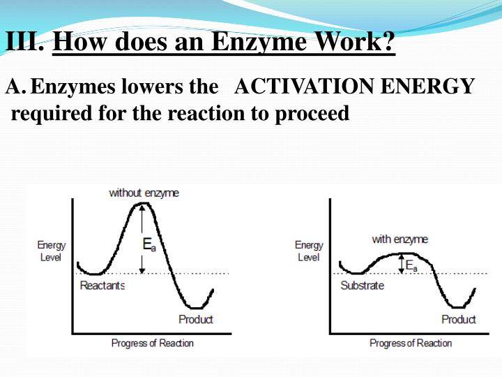 How does an Enzyme Work?