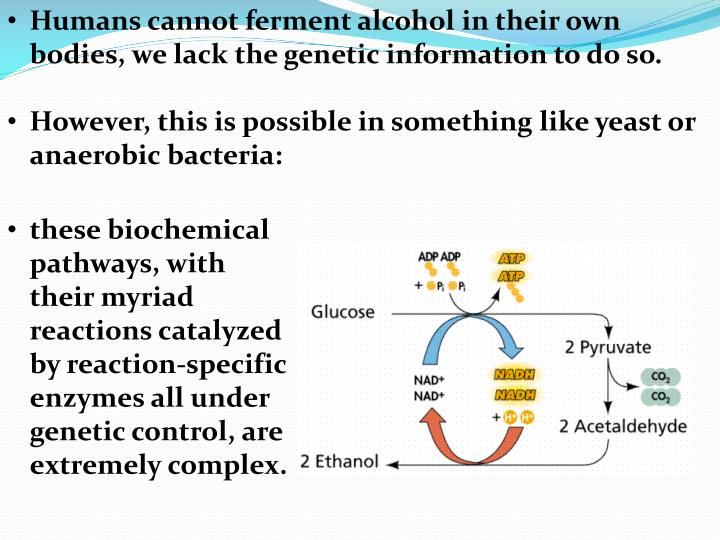 Humans cannot ferment alcohol in their own bodies, we lack the genetic information to do so.