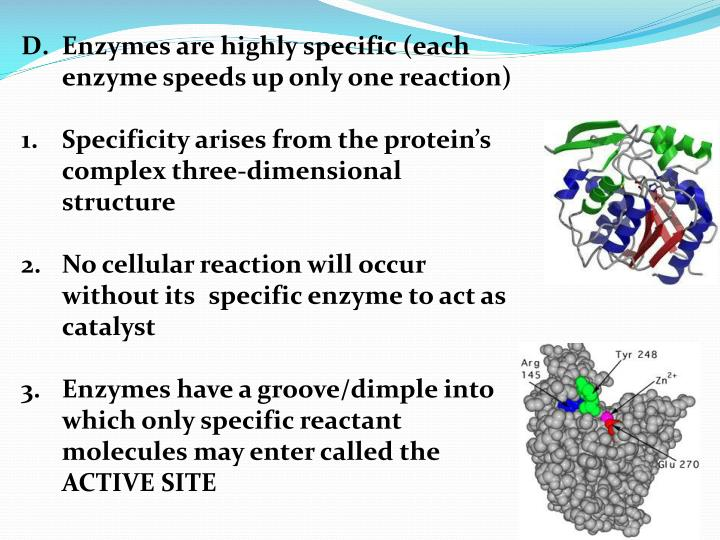 Enzymes are highly specific (each enzyme speeds up only one reaction)