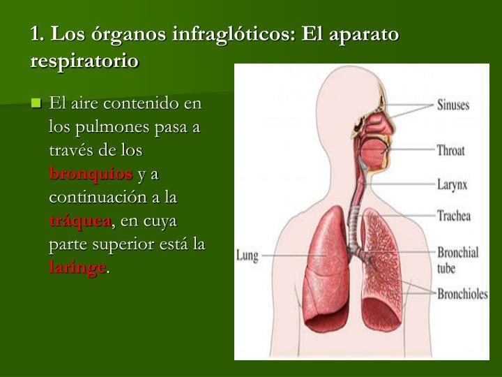1. Los órganos infraglóticos: El aparato respiratorio