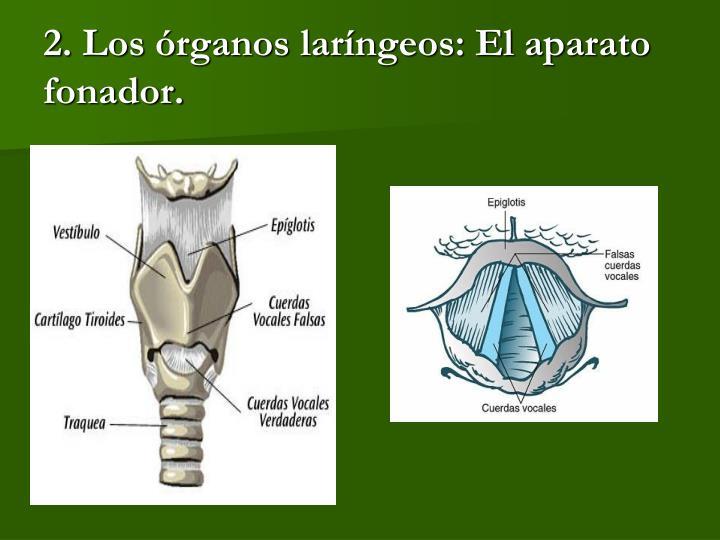 2. Los órganos laríngeos: El aparato fonador.