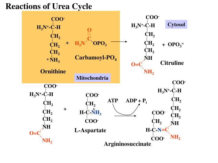 Reactions of Urea Cycle