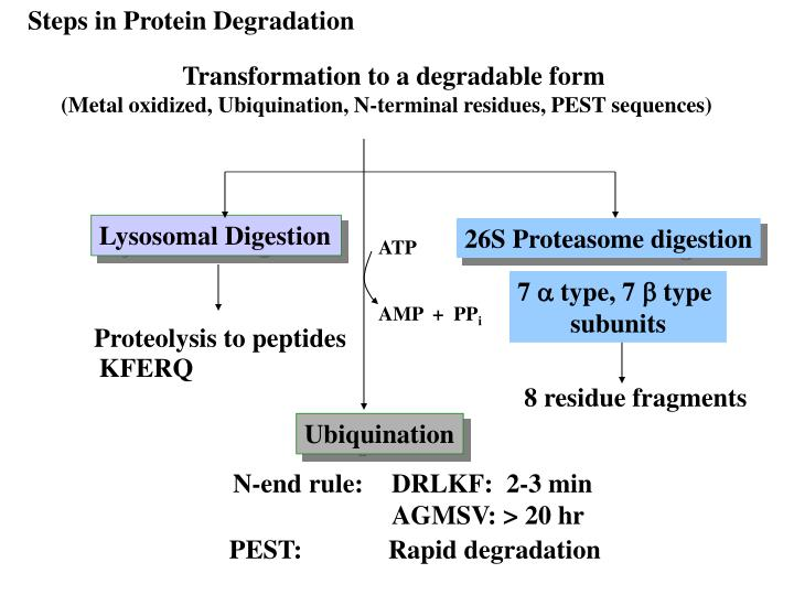 Steps in Protein Degradation