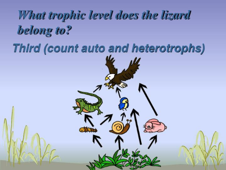What trophic level does the lizard belong to?