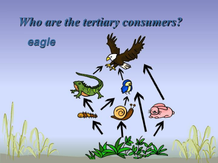 Who are the tertiary consumers?