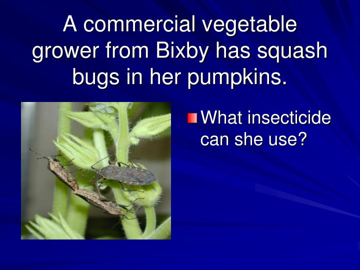 A commercial vegetable grower from Bixby has squash bugs in her pumpkins.