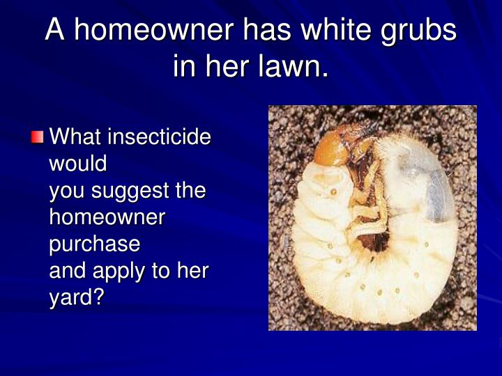 A homeowner has white grubs in her lawn.