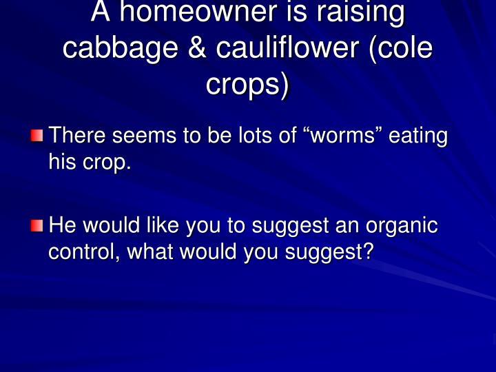 A homeowner is raising cabbage & cauliflower (cole crops)