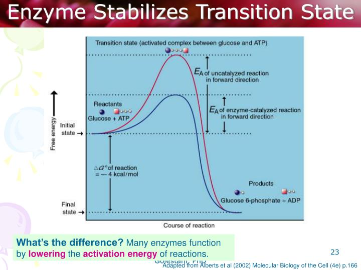 Enzyme Stabilizes Transition State