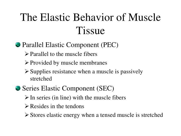 The elastic behavior of muscle tissue