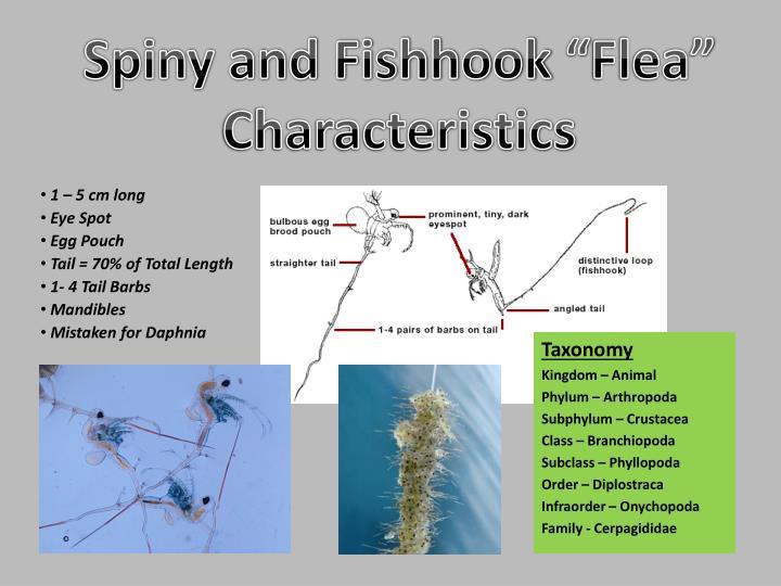 "Spiny and Fishhook ""Flea"""