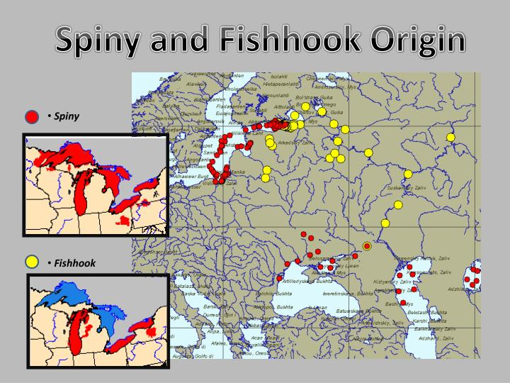Spiny and Fishhook Origin