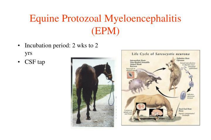 Equine Protozoal Myeloencephalitis (EPM)