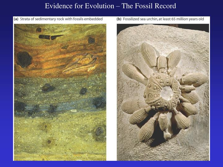 Evidence for Evolution – The Fossil Record