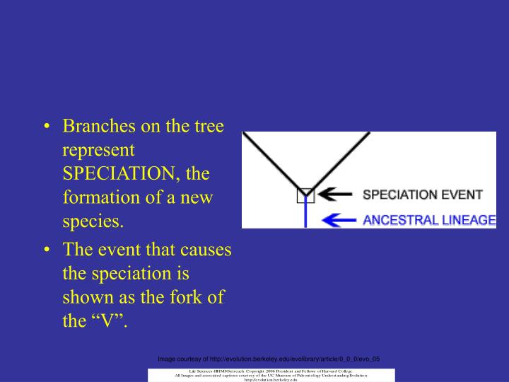 Branches on the tree represent SPECIATION, the formation of a new species.