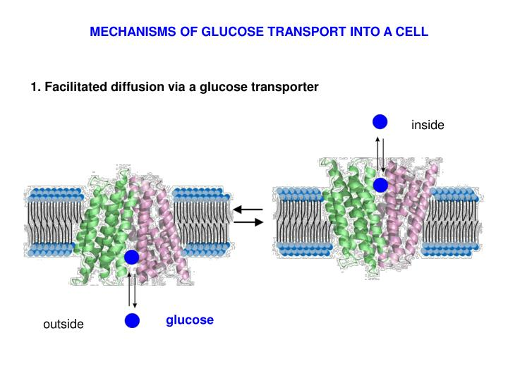 MECHANISMS OF GLUCOSE TRANSPORT INTO A CELL
