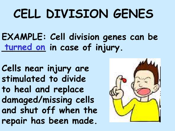 EXAMPLE: Cell division genes can be ________ in case of injury.