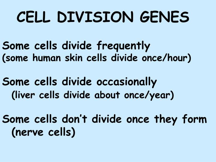 Some cells divide frequently