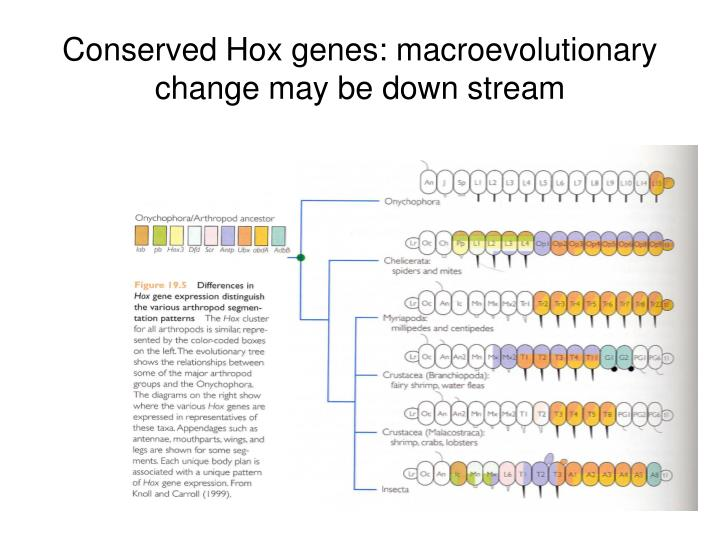 Conserved Hox genes: macroevolutionary change may be down stream