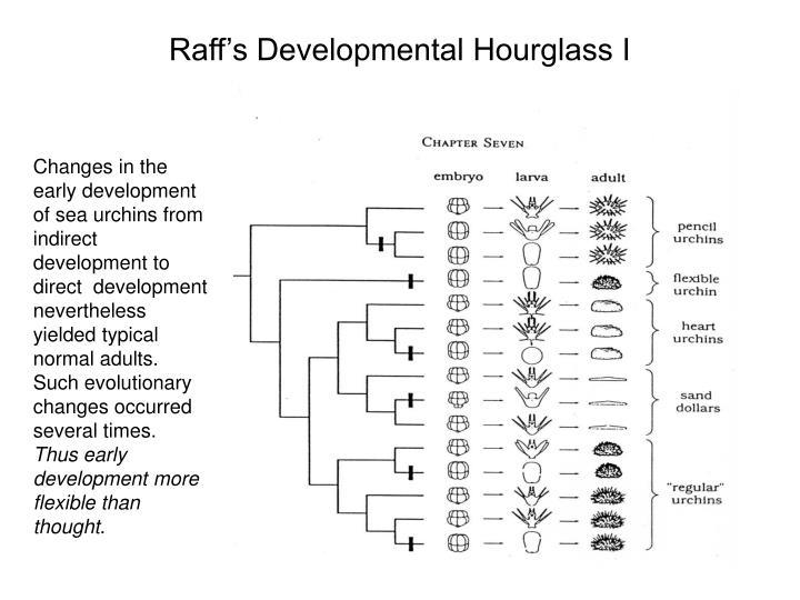 Raff's Developmental Hourglass I