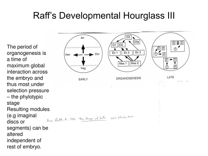 Raff's Developmental Hourglass III