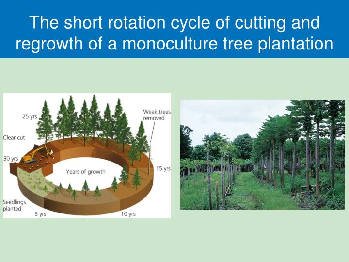 The short rotation cycle of cutting and regrowth of a monoculture tree plantation