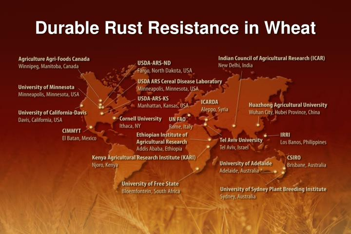 Durable Rust Resistance in Wheat