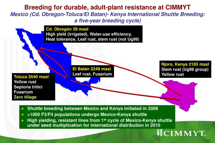 Breeding for durable, adult-plant resistance at CIMMYT