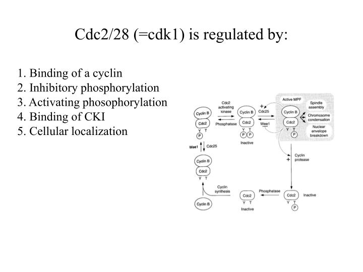 Cdc2/28 (=cdk1) is regulated by: