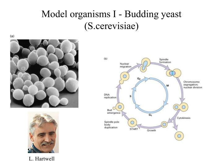 Model organisms I - Budding yeast (S.cerevisiae)