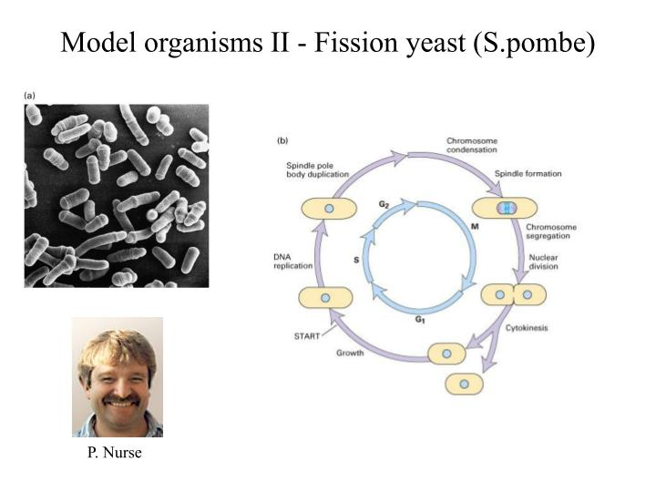 Model organisms II - Fission yeast (S.pombe)
