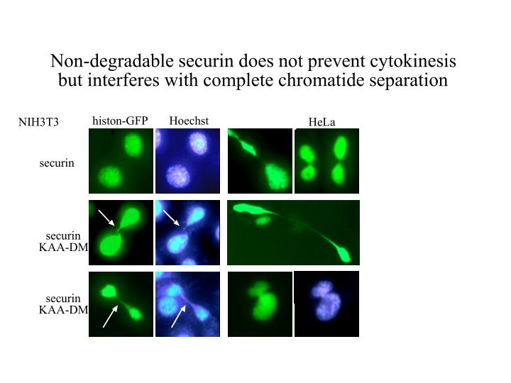 Non-degradable securin does not prevent cytokinesis