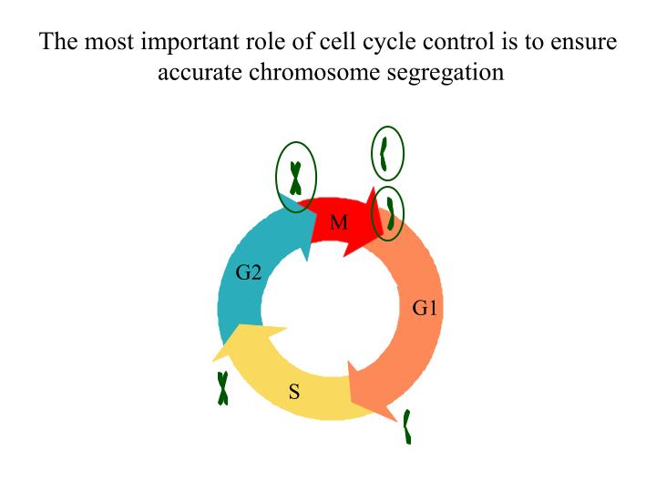 The most important role of cell cycle control is to ensure accurate chromosome segregation