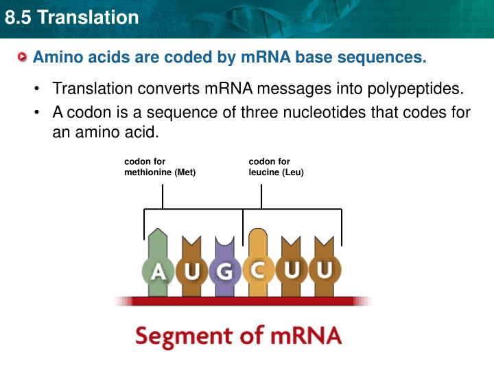 Amino acids are coded by mrna base sequences