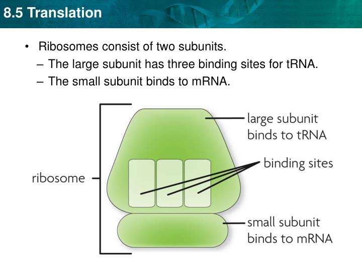 Ribosomes consist of two subunits.