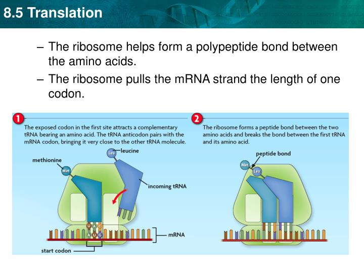 The ribosome helps form a polypeptide bond between the amino acids.